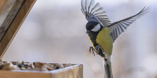 Bird feeding in winter