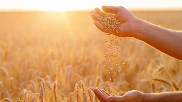 HANDS, FARMER, GRAINS
