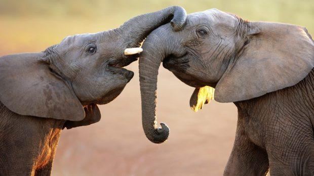 ELEPHANT TOUCHING
