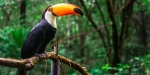 TUCANO, BIRD, JUNGLE